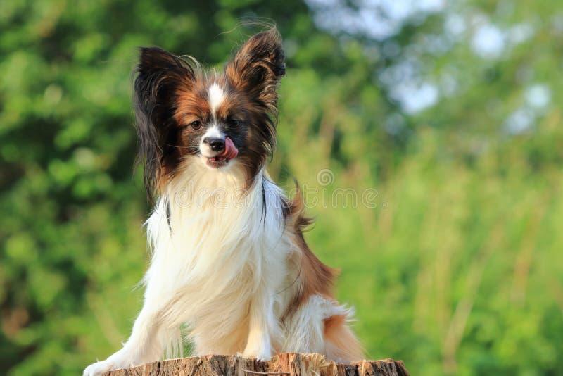 Mały mały owłosiony pies siedzi na drzewnym fiszorku i spojrzenie prosto jęzorem liźnięcia i zdjęcie stock