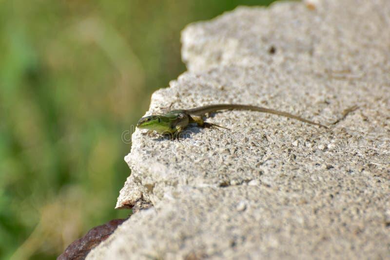 Mały zielony llizard patrzeć obraz stock
