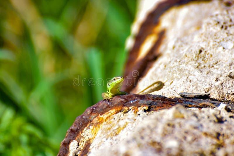 Mały zielony llizard patrzeć zdjęcie stock