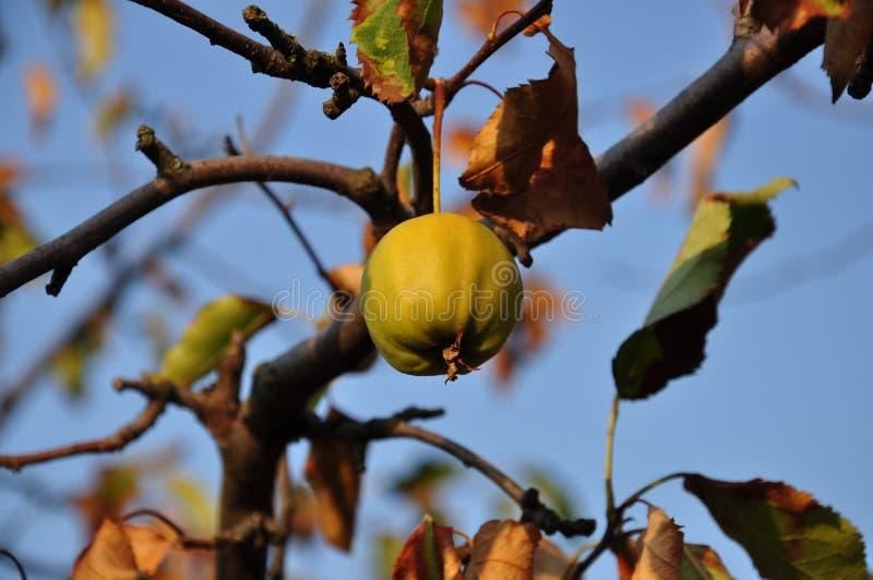 A maçã amarela pequena está pendurando no ramo de árvore com fundo obscuro das folhas marrons secas no contexto claro do céu azul imagens de stock royalty free