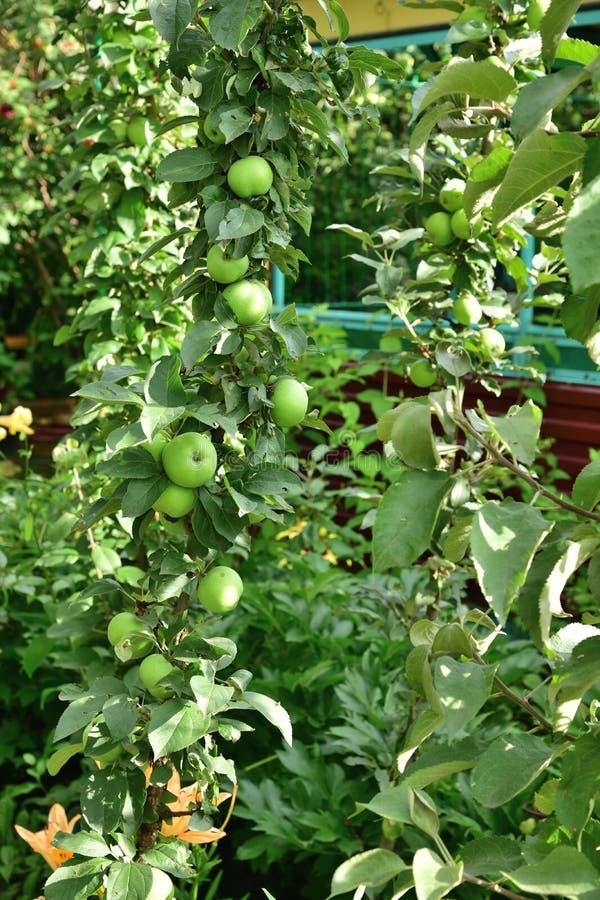 A maçã columnar é clone natural de uma árvore de maçã que não tenha nenhum ramo lateral imagens de stock