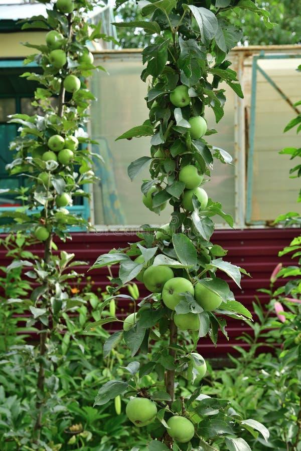 A maçã columnar é clone natural de uma árvore de maçã que não tenha nenhum ramo lateral imagem de stock