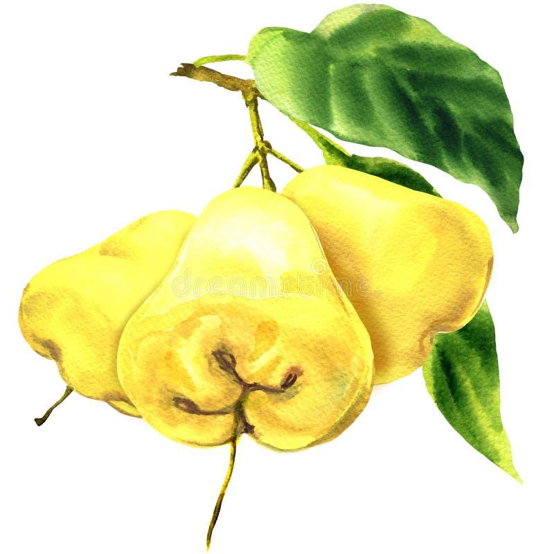 Maçã cor-de-rosa fresca de três frutos amarelos com as folhas no ramo isolado, ilustração tirada mão da aquarela no branco ilustração royalty free