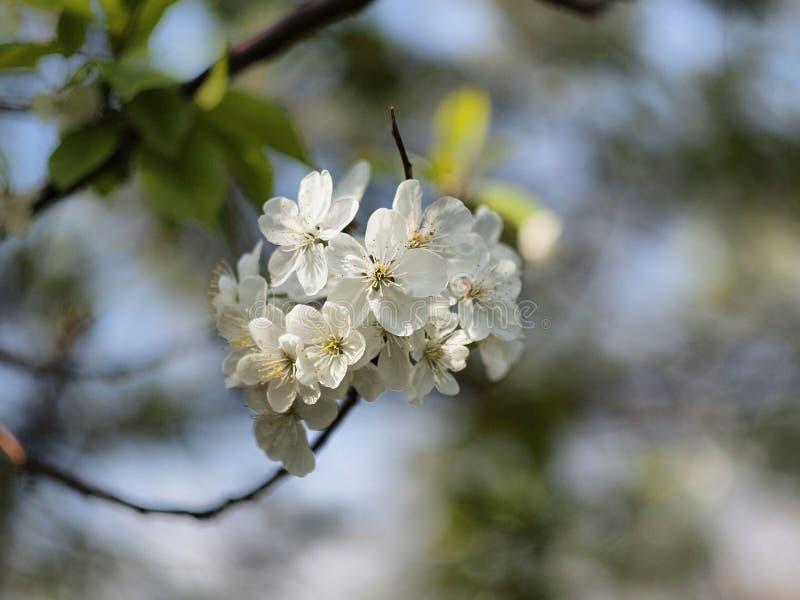 A maçã delicada da flor branca floresce contra a luz - céu azul da mola imagem de stock
