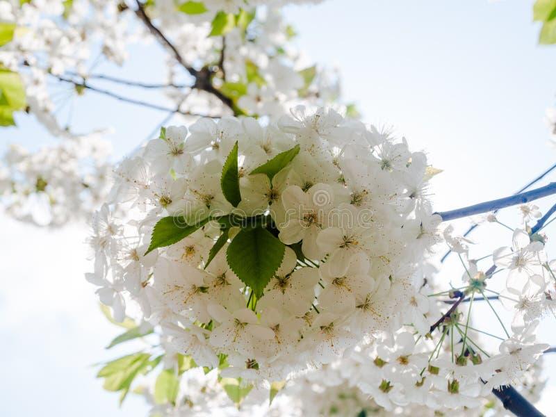A maçã delicada da flor branca floresce contra a luz - céu azul da mola imagens de stock