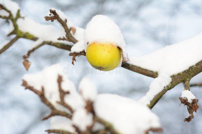 Maçã madura Calleville nevado no ramo de árvore na neve Jardim do fruto no inverno imagens de stock