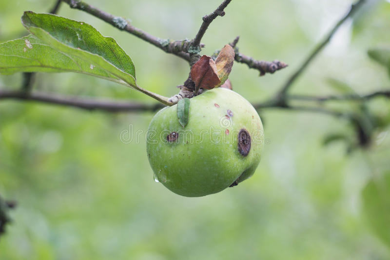 Maçã podre e sem-fim-comida verde que cresce em um ramo fotos de stock