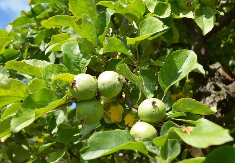 Maçã verde na árvore de maçã imagens de stock