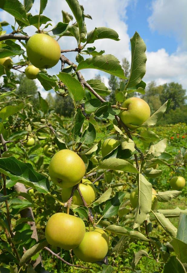 Maçã verde na árvore de maçã com fundo rural bonito fotografia de stock royalty free