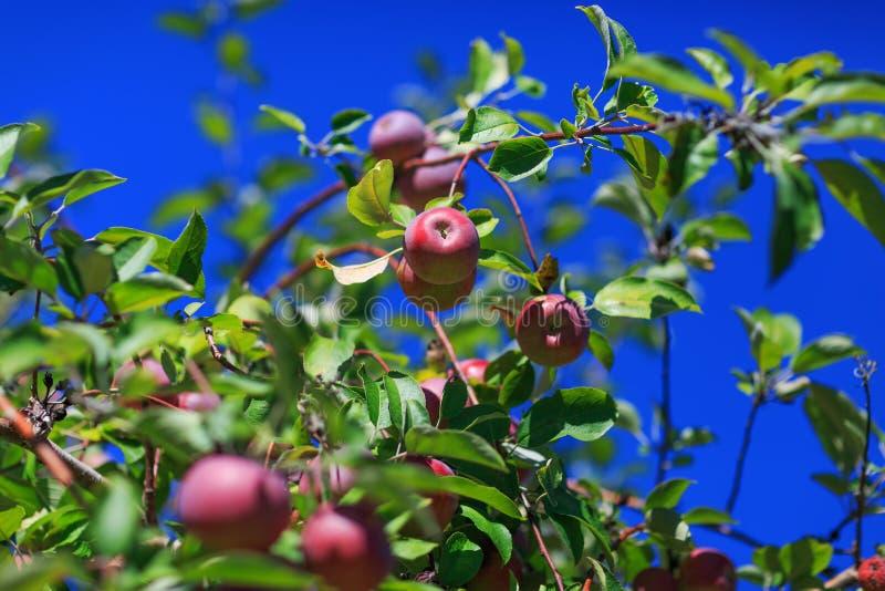 Maçã vermelha crescida orgânica com folhas do verde e haste isolada na fotografia de stock