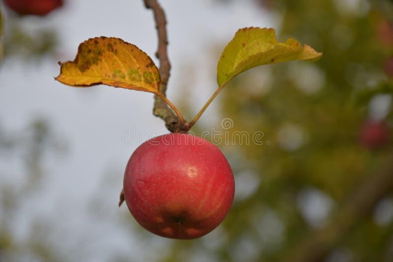 Maçã vermelha que pendura no ramo como um bufo fotografia de stock royalty free