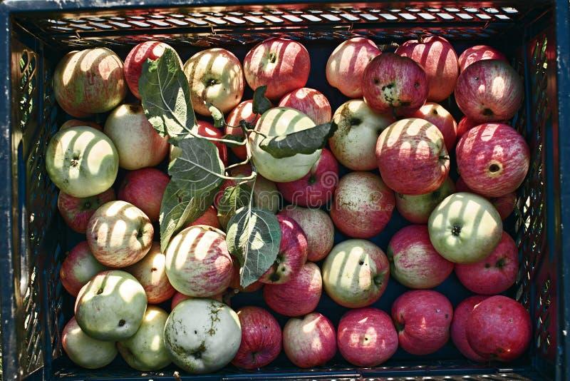 Maçãs colhidas frescas na caixa fotos de stock
