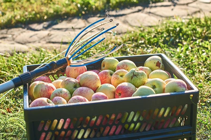 Maçãs colhidas frescas na caixa e em uma ferramenta da colheita do fruto imagem de stock