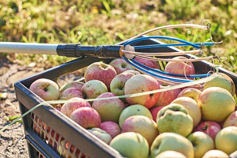 Maçãs colhidas frescas na caixa e em uma ferramenta da colheita do fruto fotografia de stock
