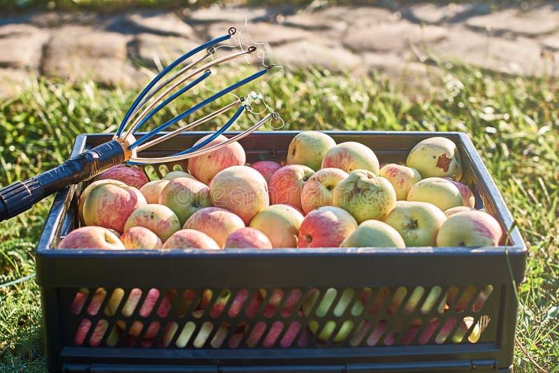 Maçãs colhidas frescas na caixa e em uma ferramenta da colheita do fruto fotos de stock royalty free