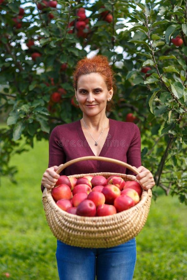 Maçãs da colheita da mulher em uma cesta fotos de stock