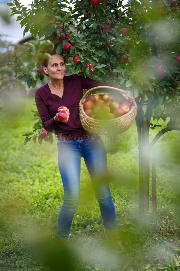 Maçãs da colheita da mulher em uma cesta fotografia de stock