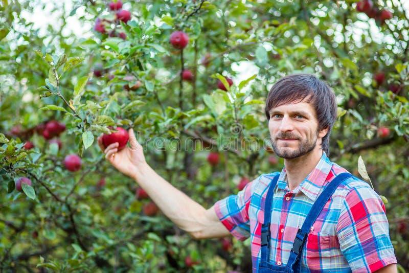 Maçãs da colheita Um homem com uma cesta completa de maçãs vermelhas no jardim foto de stock royalty free