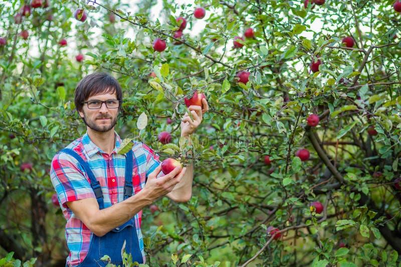 Maçãs da colheita Um homem com uma cesta completa de maçãs vermelhas no jardim imagem de stock