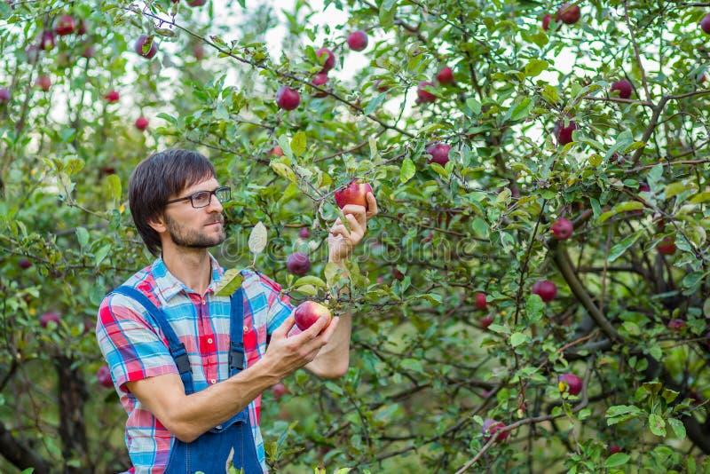 Maçãs da colheita Um homem com uma cesta completa de maçãs vermelhas no jardim fotos de stock