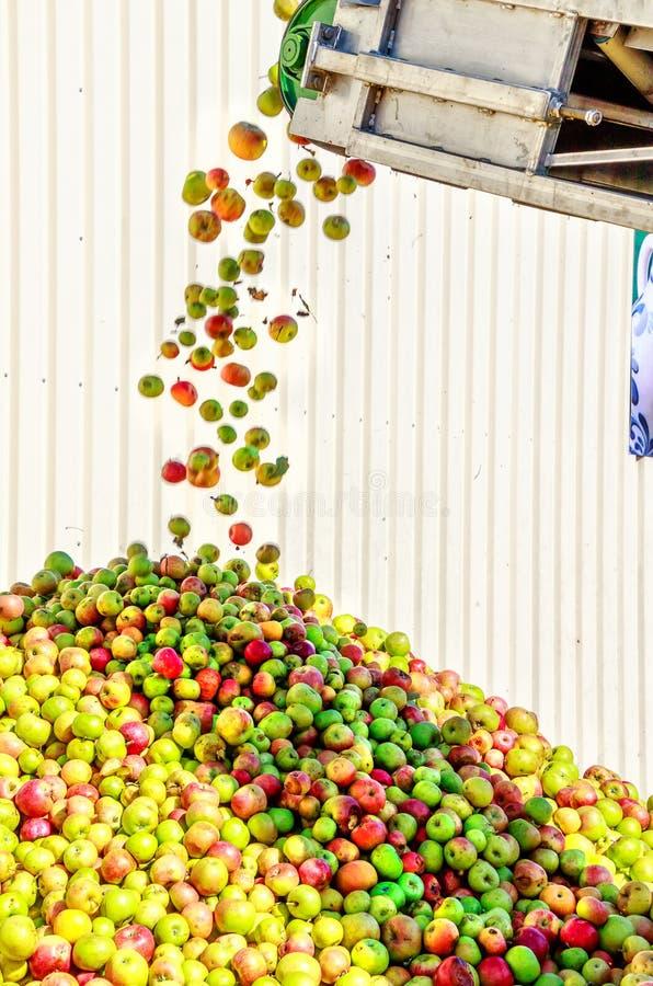 Maçãs de Alemanha que caem da correia transportadora na montanha da maçã em uma adega da cidra fotografia de stock