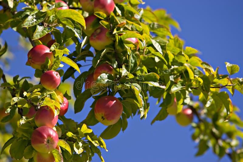 Maçãs de Washington maduras na árvore foto de stock