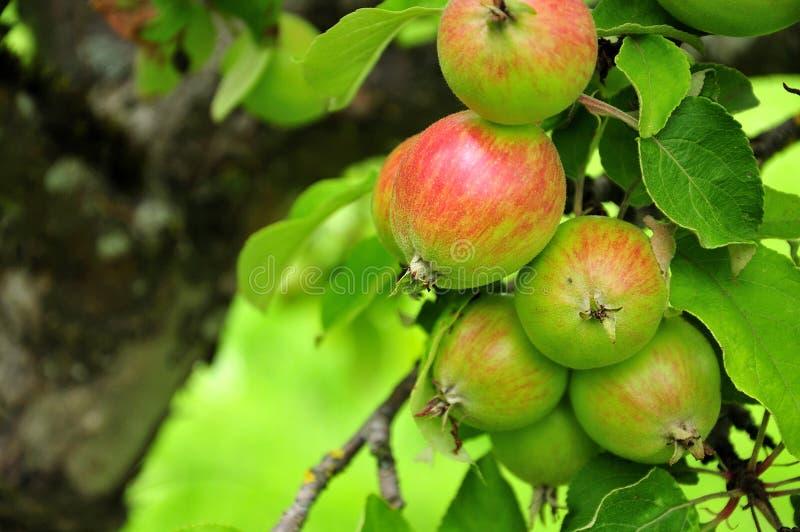 Maçãs do cultivar Jakob Fischer na árvore foto de stock royalty free