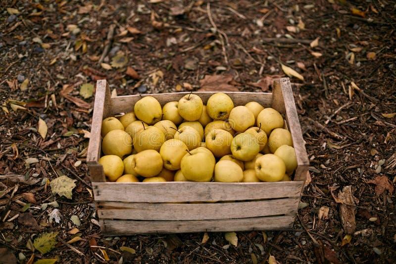 Maçãs douradas na caixa de madeira do vintage na terra completamente da folha do outono Colheita amarela madura dos frutos em uma imagem de stock royalty free