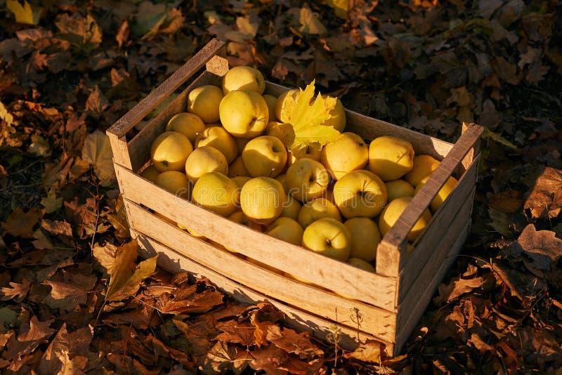 Maçãs douradas na caixa de madeira do vintage na terra completamente da folha do outono Os frutos amarelos maduros colhem em uma  fotografia de stock