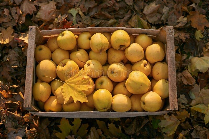 Maçãs douradas na caixa de madeira do vintage na terra completamente da folha do outono Os frutos amarelos maduros colhem em uma  fotografia de stock royalty free