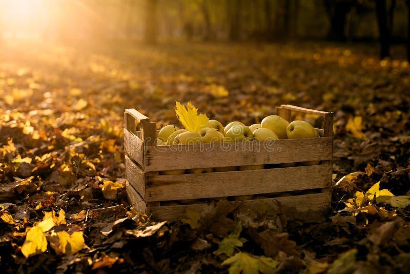 Maçãs douradas na caixa de madeira do vintage na terra completamente da folha do outono Os frutos amarelos maduros colhem em uma  imagem de stock royalty free