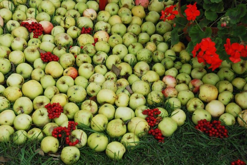 Maçãs e ashberry fotos de stock