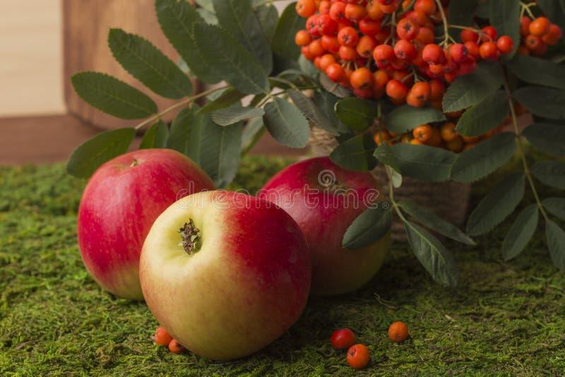 Maçãs e frutos maduros da cinza de montanha vermelha com folhas verdes imagens de stock