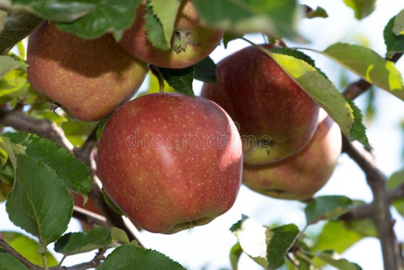 Maçãs em um ramo no jardim, dia ensolarado foto de stock