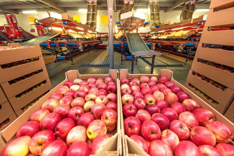Maçãs em umas caixas de cartão em uma fábrica do fruto com equipm da embalagem fotos de stock royalty free