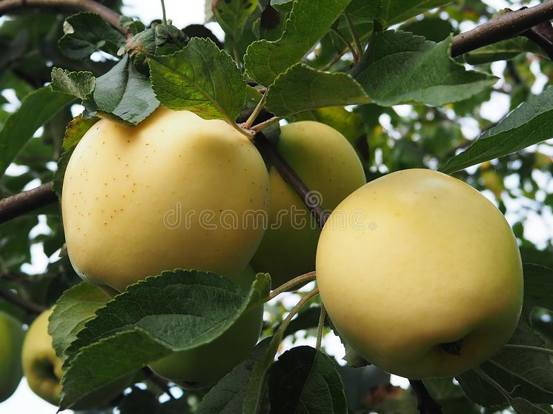 Maçãs líquidas na árvore No outono, uma colheita rica das maçãs no jardim detalhes fotografia de stock royalty free