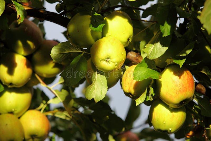 Maçãs maduras, bonitas nos ramos da árvore de maçã fotos de stock royalty free