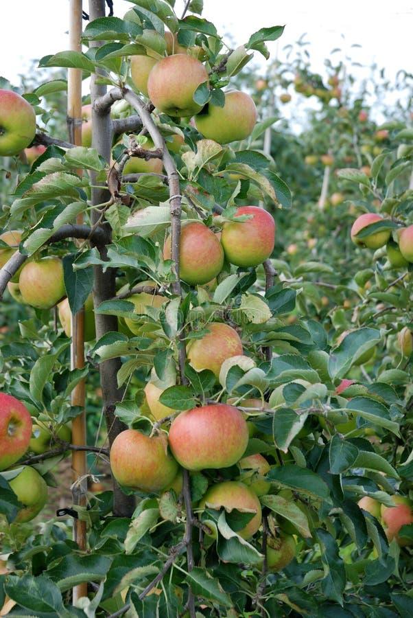 Maçãs maduras em um pomar de maçã fotos de stock