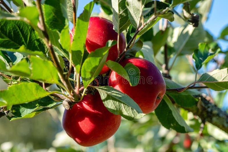 Maçãs maduras vermelhas ainda que crescem em uma árvore, cercada pelas folhas verdes na luz do sol fotos de stock