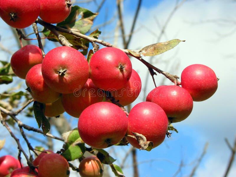 Maçãs na filial de árvore da maçã imagens de stock royalty free