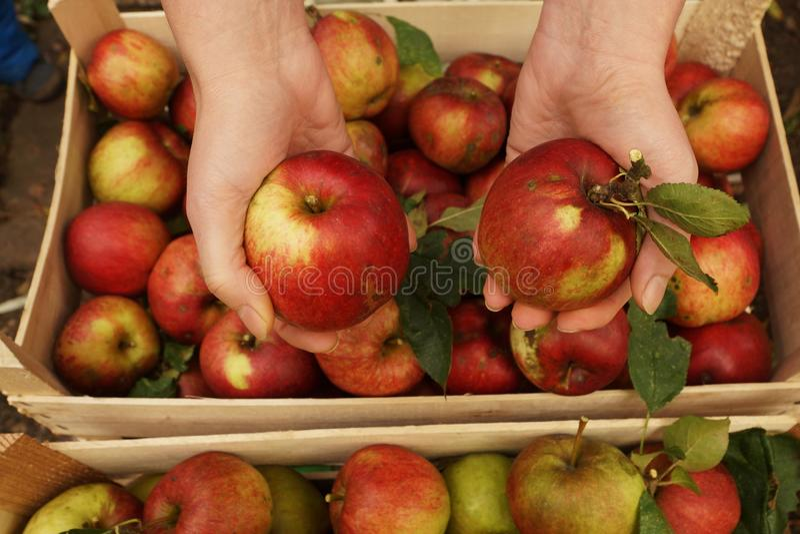 Maçãs orgânicas frescas imagem de stock