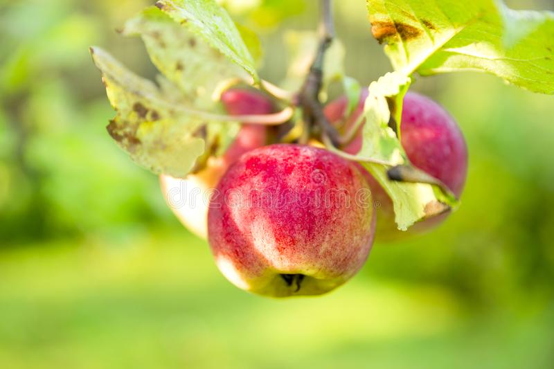 Maçãs orgânicas que penduram de um ramo de árvore em um pomar de maçã fotografia de stock