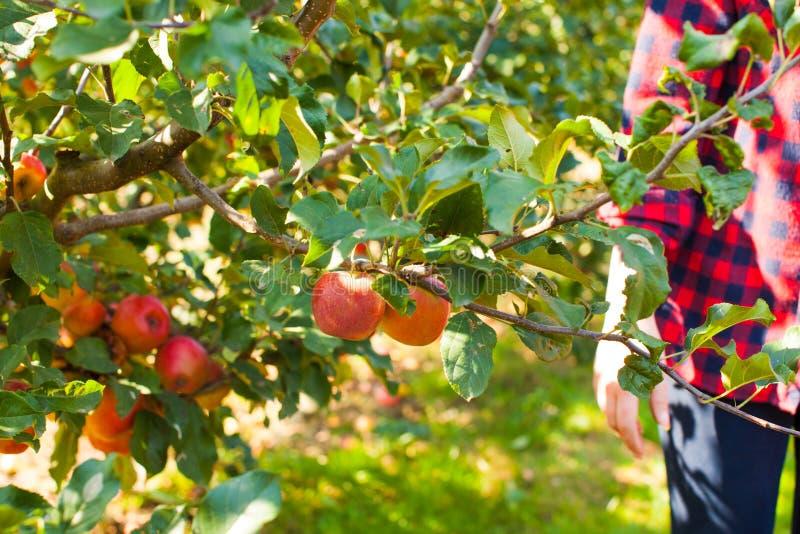 Maçãs orgânicas saudáveis na árvore, jardim outono imagens de stock