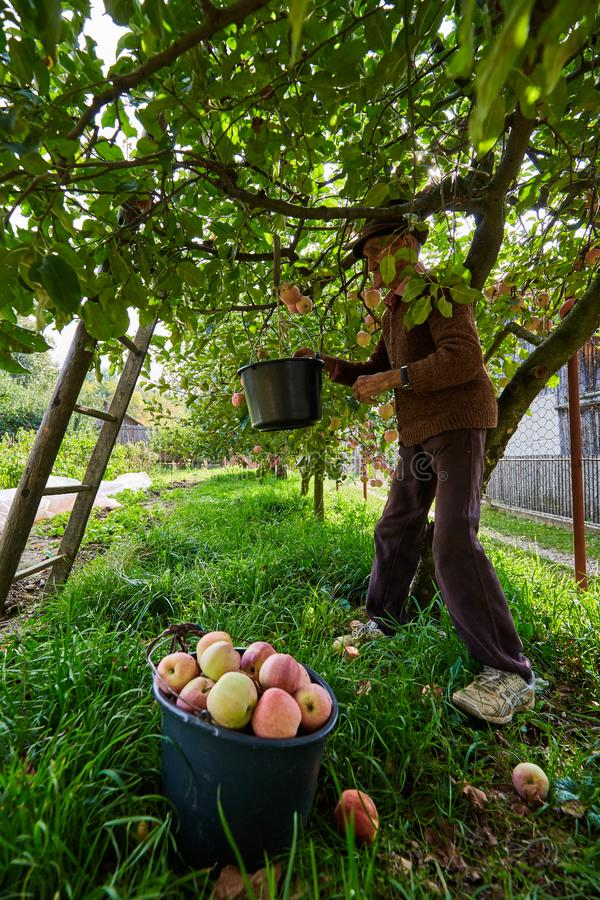 Maçãs superiores da colheita do fazendeiro fotos de stock royalty free