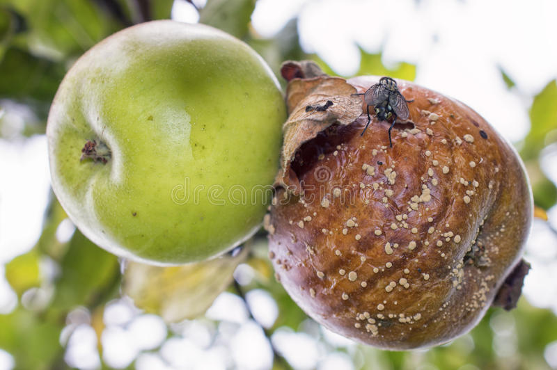 Maçãs verdes e podres com Carne-mosca e molde na árvore de maçã foto de stock