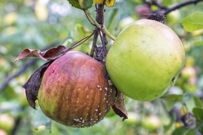 Maçãs verdes e podres com Carne-mosca e molde na árvore de maçã foto de stock royalty free