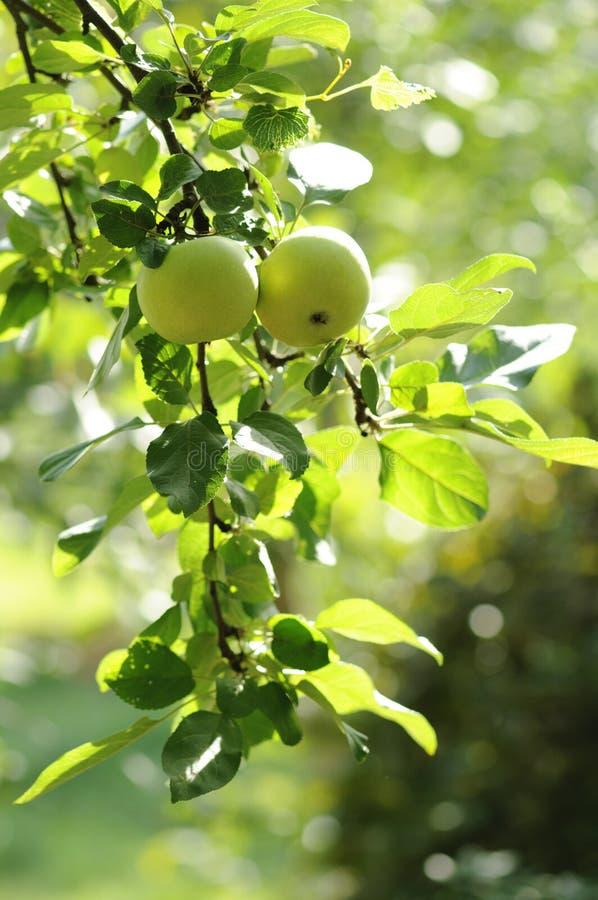 Maçãs verdes em uma filial da maçã-árvore imagens de stock royalty free