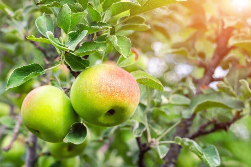 Maçãs verdes maduras orgânicas com o lado vermelho que cresce na árvore pronta para ser colhido Pomar de fruto no dia de verão en foto de stock
