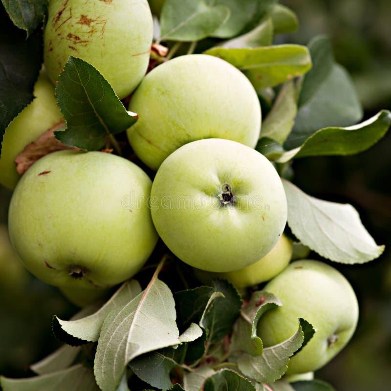 Maçãs verdes no ramo da Apple-árvore fotografia de stock royalty free