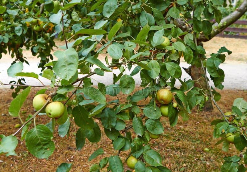 Maçãs verdes no ramo de árvore da maçã Países Baixos julho imagens de stock